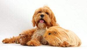 Cavalier King Charles Spaniel x Poodle 'Cavapoo' age 5 months, with ginger guinea pig. NOT AVAILABLE FOR BOOK USE - Mark Taylor