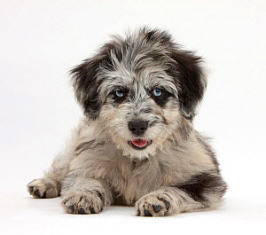 Blue merle Collie and Poodle 'Cadoodle' puppy. - Mark Taylor