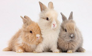 Three cute baby Lionhead bunnies in a row.  -  Mark Taylor