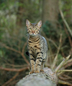 Bengal cat standing on a fallen tree.  -  Mark Taylor