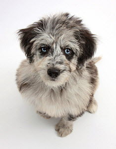 Blue merle Collie x Poodle 'Cadoodle' puppy looking up.  -  Mark Taylor