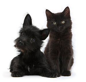 Black Terrier cross puppy, with a black Maine Coon kitten. NOT AVAILABLE FOR BOOK USE - Mark Taylor