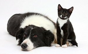 Black and white Border collie bitch with black and white tuxedo kitten age 10 weeks. NOT AVAILABLE FOR BOOK USE - Mark Taylor