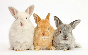 RF- Three baby lop rabbits. (This image may be licensed either as rights managed or royalty free.)  -  Mark Taylor