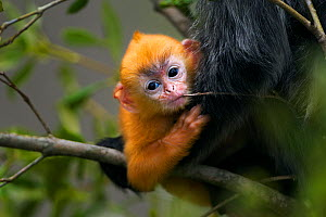 Silvered / silver-leaf langur (Trachypithecus cristatus)  orange coloured young baby aged 1-2 weeks playfully chewing a twig. Bako National Park, Sarawak, Borneo, Malaysia.  -  Fiona Rogers