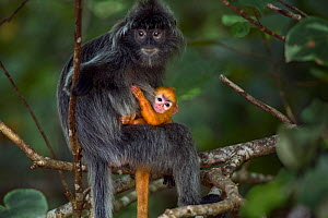 Silvered / silver-leaf langur (Trachypithecus cristatus) female sitting in a tree with her orange coloured young  baby aged less than 1 month. Bako National Park, Sarawak, Borneo, Malaysia. - Fiona Rogers