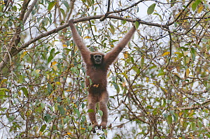Hoolock gibbon (Hoolock hoolock) female hanging from branch, Assam, India.  -  Bernard Castelein