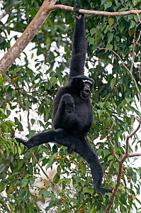 Hoolock gibbon (Hoolock hoolock) male, Assam, India.  -  Bernard Castelein