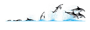 Illustration of the diving and breaching behaviour of Dusky Dolphin (Lagenorhynchus obscurus).  -  Rebecca Robinson