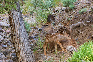 Mule deer (Odocoileus hemionus) female with newborn fawns. Yellowstone National Park, Wyoming, USA, June. - George  Sanker