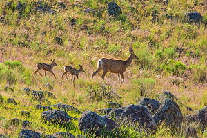 Mule deer (Odocoileus hemionus) newborn twins following mother, Yellowstone National Park, Wyoming, USA, June. - George  Sanker