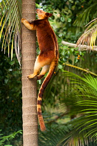 Buergers' tree-kangaroo (Dendrolagus goodfellowi buergersi) climbing. Currumbin Sanctuary, Queensland, Australia. Captive, endemic to Papua New Guinea. Endangered species.  -  Roland  Seitre