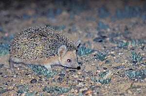 Long-eared hedgehog (Hemiechinus auritus) Mongolia.  -  Roland  Seitre