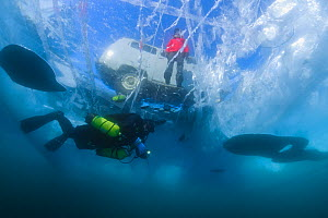 Diver swims under clear transparent ice (1m thick) with minivan and person visible above. Lake Baikal, Russia, March 2012. - Olga Kamenskaya