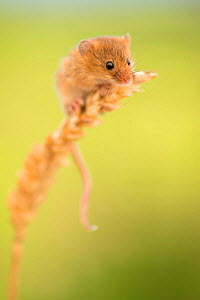 Harvest mouse (Micromys minutus) on wheat stem, Devon, UK (captive). May.  -  Ross Hoddinott
