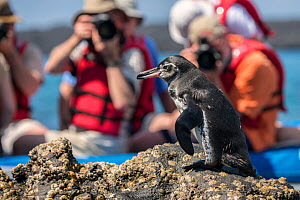 Galapagos penguin (Spheniscus mendiculus), being photographed by tourists from a boat, Sullivan Bay, Galapagos. April.  -  Ross Hoddinott