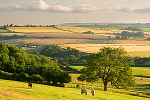 Rural view of rolling countryside with grazing cattle, near Frome, Somerset, UK. July 2014.  -  Ross Hoddinott