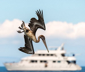 Brown pelican (Pelecanus occidentalis) diving for fish with the Athala II boat in the background, Espumilla beach, Galapagos, Ecuador. April.  -  Ross Hoddinott