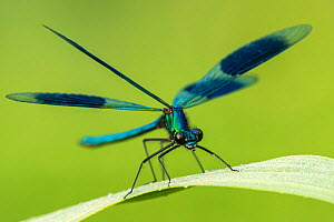 Male banded demoiselle (Calopteryx splendens), resting on reed, Lower Tamar Lakes, Cornwall, UK. June. - Ross Hoddinott