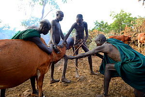 Cattle herder of the Suri / Surma tribe using bow and arrow to drain blood from the jugular vein of a cow to drink. Omo river Valley, Ethiopia, September 2014.  -  Eric Baccega