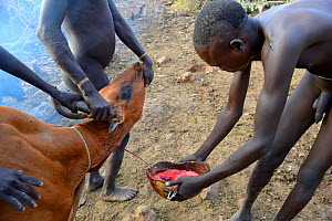 Cattle herder of the Suri / Surma tribe draining blood from the jugular vein of a cow to drink. Omo river Valley, Ethiopia, September 2014.  -  Eric Baccega
