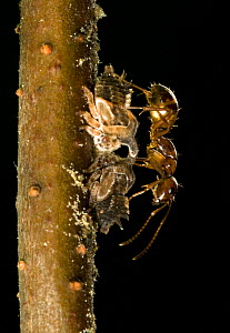 Winter Ants (Prenolepis imparis) tending nymphs of the Two-Marked Treehopper (Enchenopa binotata) Southern Appalachians South Carolina, USA, May. - Clay Bolt