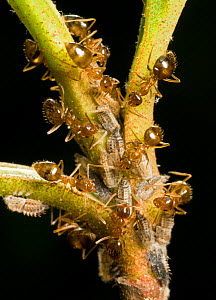 Winter Ants (Prenolepis imparis) tending nymphs of the Two-Marked Treehopper (Enchenopa binotata) on a Viburnum leaf, Southern Appalachians South Carolina, USA, April.  -  Clay Bolt
