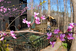 Eastern Carpenter Bee (Xylocopa virginica) flying around a flowering Eastern Redbud tree (Cercis canadensis), Southern Appalachians, South Carolina, USA, April. - Clay Bolt