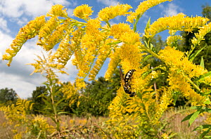 Scoliid Wasp (Scoliidae) on Goldenrod flowers (Solidago) Southern Appalachians, South Carolina, USA, September.  -  Clay Bolt
