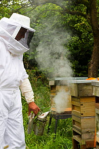 Russell Flynn from Gwent Beekeepers wearing protective bee keeping suit, smoking Honey bee (Apis meliffera) hive, Pontypool, Wales, UK, July 2014.  -  David  Woodfall