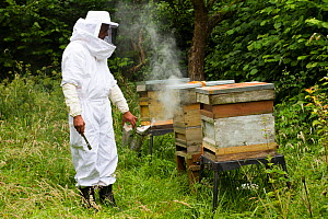 Russell Flynn from Gwent Beekeepers wearing protective bee keeping suit, smoking Honey bee (Apis meliffera) hives in old orchard, Pontypool, Wales, UK, July 2014.  -  David  Woodfall