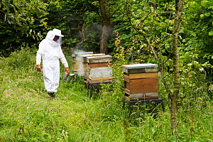 Russell Flynn from Gwent Beekeepers wearing protective bee keeping suit, attending to Honey bee (Apis meliffera) hives in old orchard, Pontypool, Wales, UK, July 2014.  -  David  Woodfall