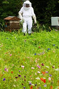 Russell Flynn from Gwent Beekeepers wearing protective bee keeping suit, attending to Honey bee (Apis meliffera) hives in flower meadow, Pontypool, Wales, UK, July 2014.  -  David  Woodfall