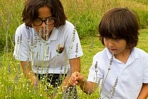 Young boys looking at Lavender (Lavandula sp) flowers planted in school garden to attract bees. Part of the Friends of the Earth national 'Bee Friendly' campaign,South Wales,UK, July 2014. MRDELETE - David  Woodfall