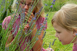 Young girls looking at Lavender (Lavandula sp) flowers planted in school garden to attract bees. Part of the Friends of the Earth national 'Bee Friendly' campaign,South Wales,UK, July 2014. MRDELETE - David  Woodfall