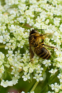 Dead Honey bee (Apis mellifera) on Wild carrot (Daucus carotta) flowers, cause of death unknown. Cwmbran, South Wales, UK, July.  -  David  Woodfall