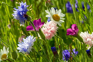 Corncockle (Agrostemma githago), Cornflowers (Centaurea cyanus) and Ox eye daisies (Chrysanthemum leucanthemum) planted to attract bees as part of the Friends of the Earth 'Bee Friendly' campaign. Sou...  -  David  Woodfall