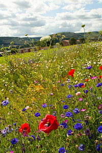 Wildflowers including Wild carrot (Daucus carota), Poppies (Papaver sp) and Cornflowers (Centaurea cyanus) planted in community green space to attract bees. Part of a collaboration between Bron Afon c...  -  David  Woodfall