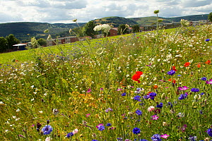 Wildflowers including Wild carrot (Daucus carota) and Cornflowers (Centaurea cyanus) planted in community green space to attract bees. Part of collaboration between Bron Afon community Housing Trust a...  -  David  Woodfall