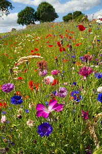 Wildflowers including Corncockle (Agrostemma githago), Poppies (Papaver sp) and Cornflowers (Centaurea cyanus) planted in community green space to attract bees. Part of a collaboration between Bron Af...  -  David  Woodfall