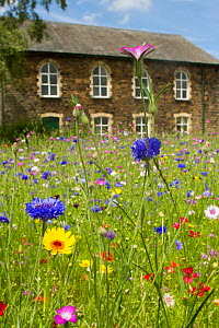 Wildflower garden outside old Welsh chapel. Sown to attract bees as part of the Friends of the Earth 'Bee Friendly' campaign with the Bron Afon Community Housing Association, Cwmbran, South Wales, UK.... - David  Woodfall