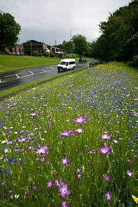 Wildflowers including Corncockle (Agrostemma githago) and Cornflowers (Centaurea cyanus) planted on roadside to attract bees. Part of the Friends of the Earth 'Bee Friendly' campaign with the Bron Afo...  -  David  Woodfall