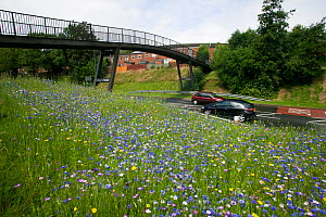 Wildflowers planted on roadside to attract bees as part of the Friends of the Earth 'Bee Friendly' campaign with the Bron Afon Community Housing Association, Cwmbran, South Wales, UK. July 2014.  -  David  Woodfall