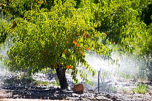Orange (Citrus sp) orchard irrigation on Suikerbossie farm, Koue Bokkeveld / Cedarberg region, Western Cape, South Africa. The water comes from rainwater, mountain run-off and the Twee River, which fl...  -  Cheryl-Samantha  Owen