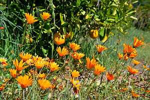 Flowers growing in orange orchard on Suikerbossie farm, Koue Bokkeveld / Cedarberg region, Western Cape, South Africa.  -  Cheryl-Samantha  Owen
