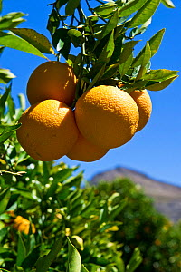 Oranges (Citrus sp) in orchard on Suikerbossie farm, Koue Bokkeveld / Cedarberg region, Western Cape, South Africa.  -  Cheryl-Samantha  Owen