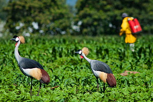 Two Grey crowned cranes (Balearica regulorum gibbericeps) foraging in a field of beans near a farm worker spraying insecticide. Commercial farm, Tanzania, East Africa. December 2010.  -  Cheryl-Samantha  Owen