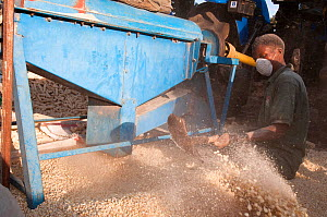 A man shoveling Maize (Zea mays) corn into a pile after the corn has been shelled (removed from the cob) by a machine. Commercial farm, Tanzania, East Africa. October 2011.  -  Cheryl-Samantha  Owen
