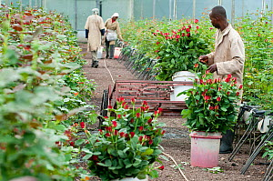 Workers harvesting Roses (Rosa sp) in greenhouse to be bunched and packed for export. Commercial rose farm, Tanzania, East Africa. October 2011. - Cheryl-Samantha  Owen