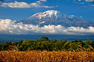 Field of African maize (Zea Mays) below Mount Kilimanjaro, Tanzania, East Africa. August 2010. - Cheryl-Samantha  Owen